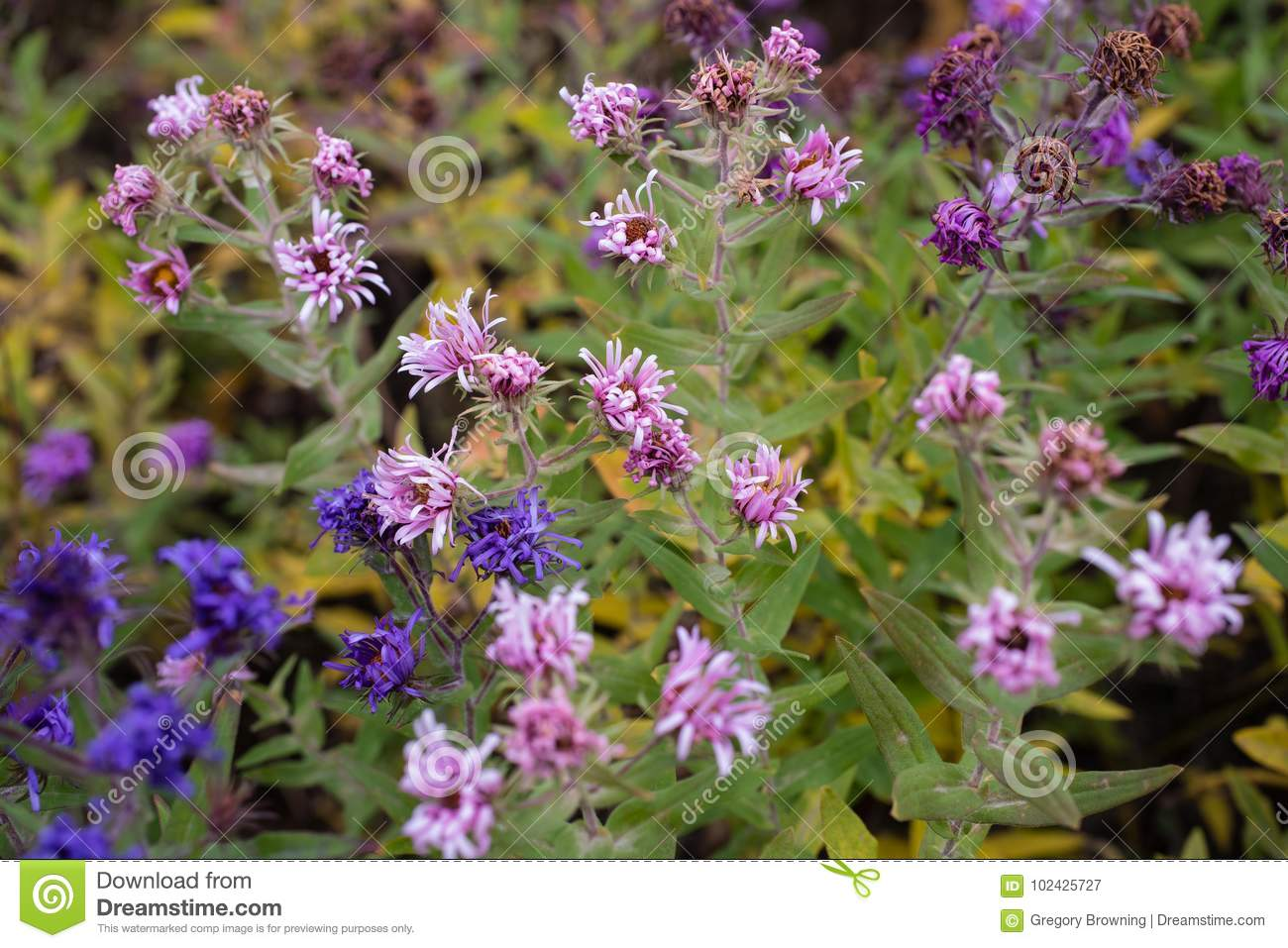 Pretty purple fall blooms stock image image of flowers 102425727 pretty fall blooming flowers in shades of purple mightylinksfo