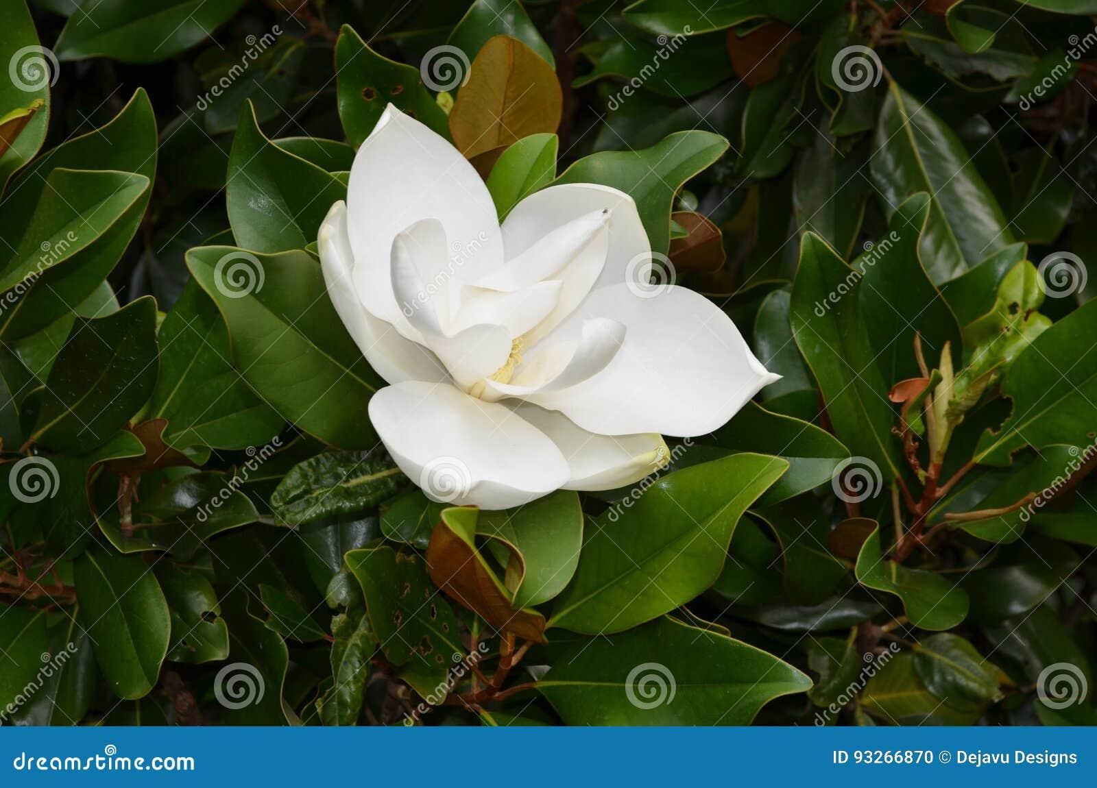 Pretty Flowering White Magnolia Bush With A Flower Blossom Stock