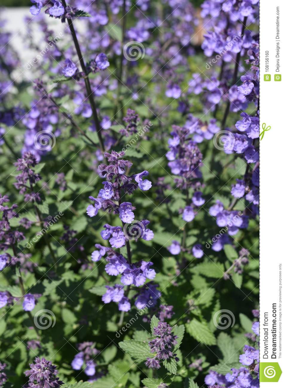 Pretty Image of Lavender in the Spring