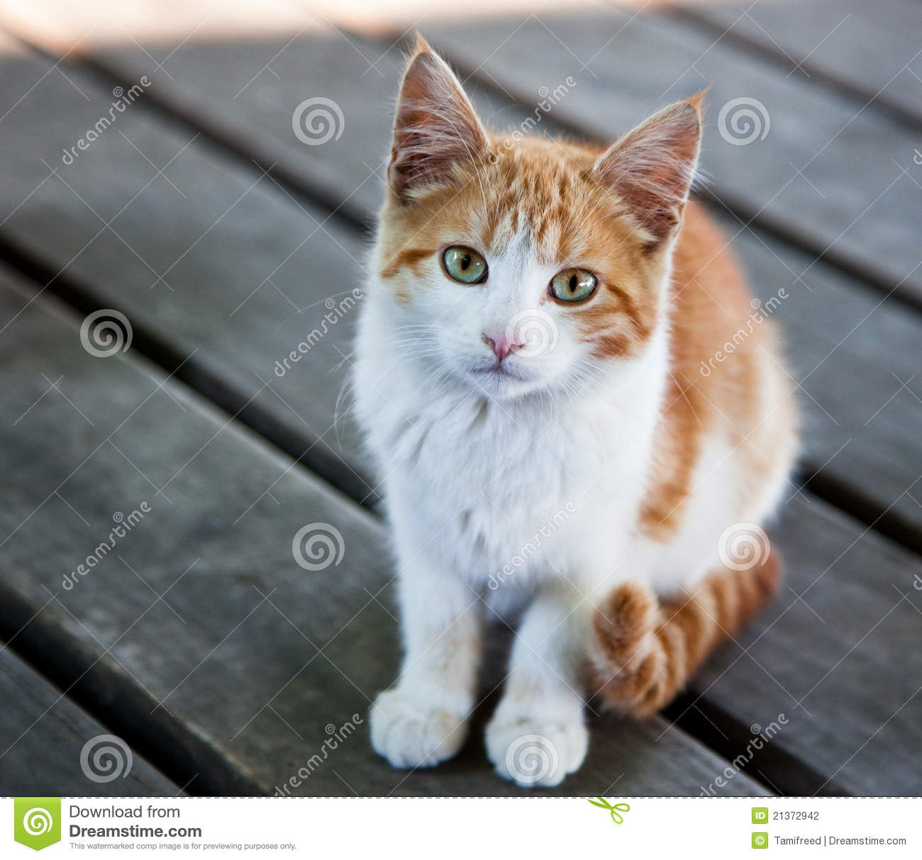 Outside 21372942 Of Pretty Wild Photo Inquisitive Kitty - Image Stock