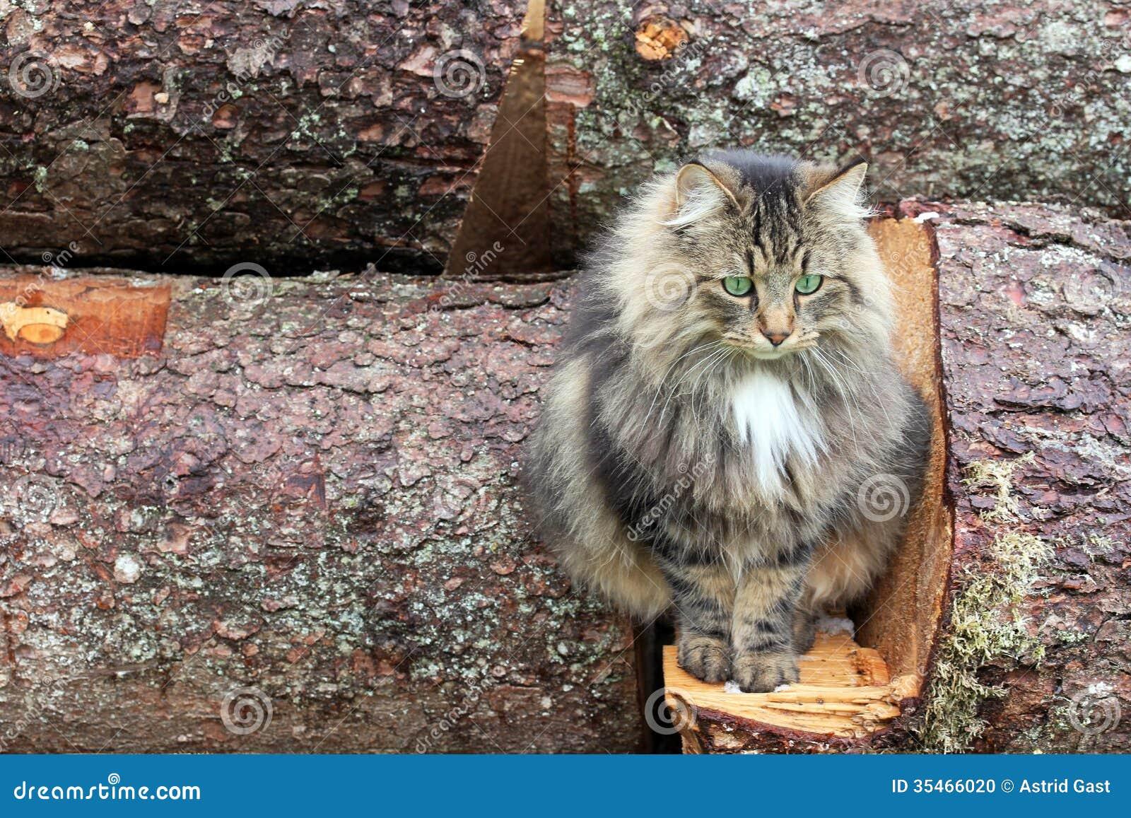 Norwegian Cats Pictures