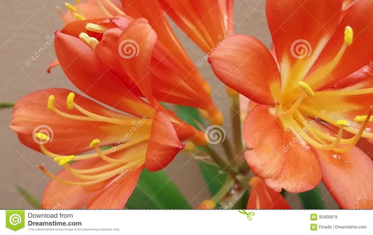 Pretty Orange Flowers With Yellow Stamens Stock Video Video Of