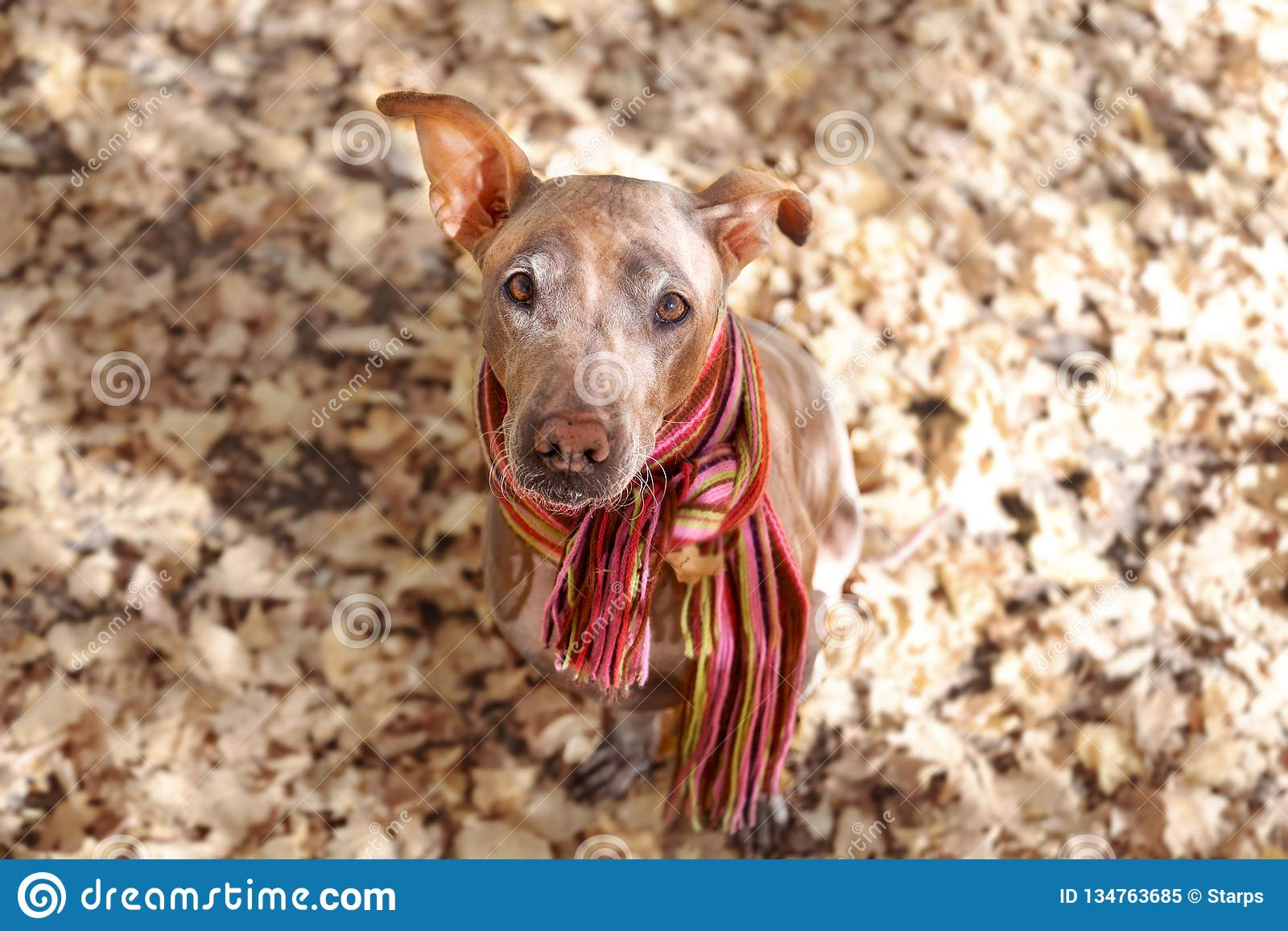 Pretty pale dog in bright stripped scarf on the autumn/fall background.