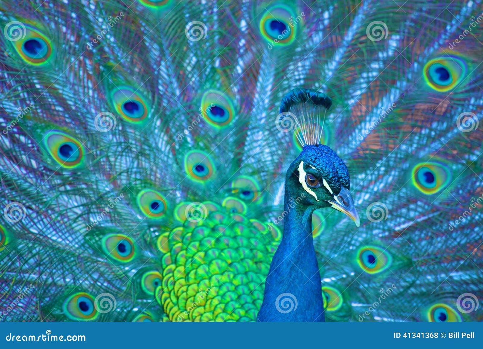 Pretty Peacock Stock Photo Image 41341368