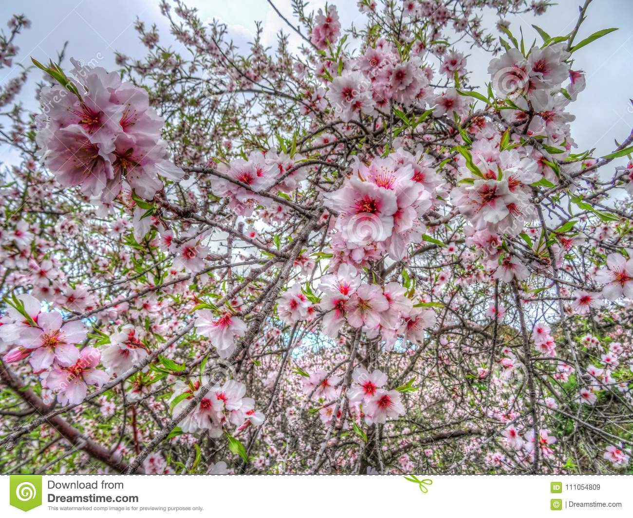 Pretty Pink Almond Blossom Flowers On A Tree Stock Image Image Of