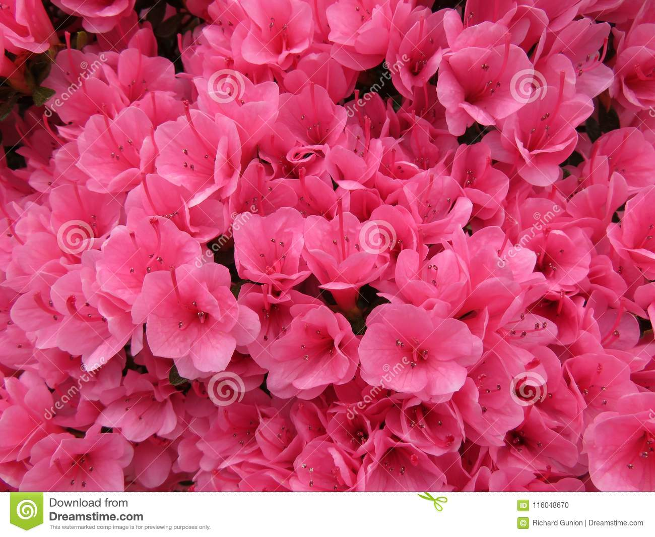 Pretty Pink Azaleas Stock Photo Image Of Pink Flowers 116048670