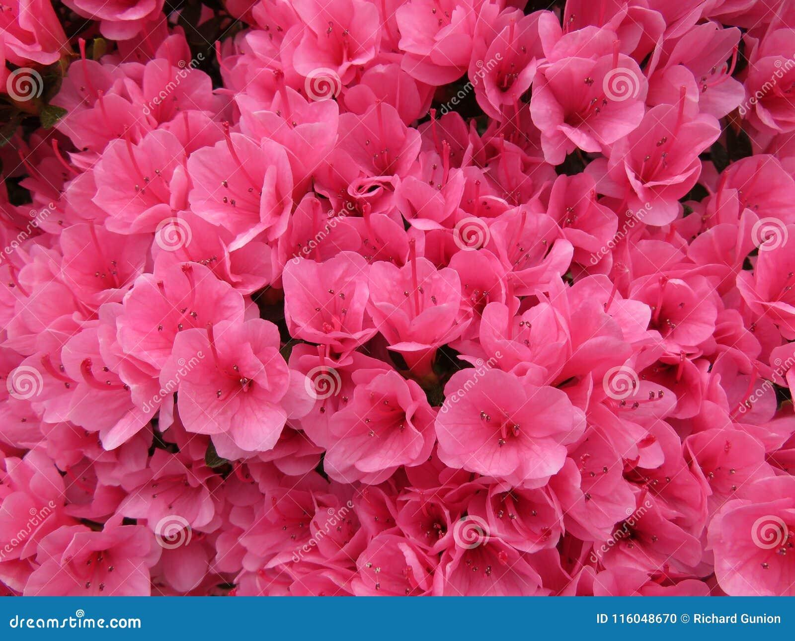 Pretty pink azaleas stock photo image of pink flowers 116048670 pretty pink azaleas mightylinksfo