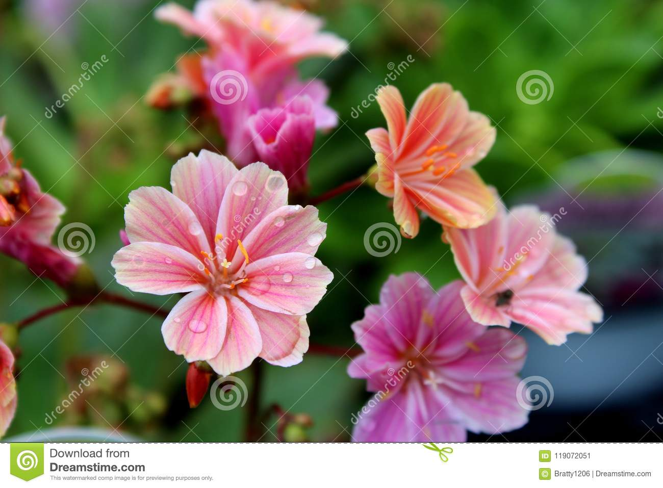 Pretty Pink And Coral Colored Flowers Covered In Early Morning Dew Stock Image Image Of Blossom Bright 119072051
