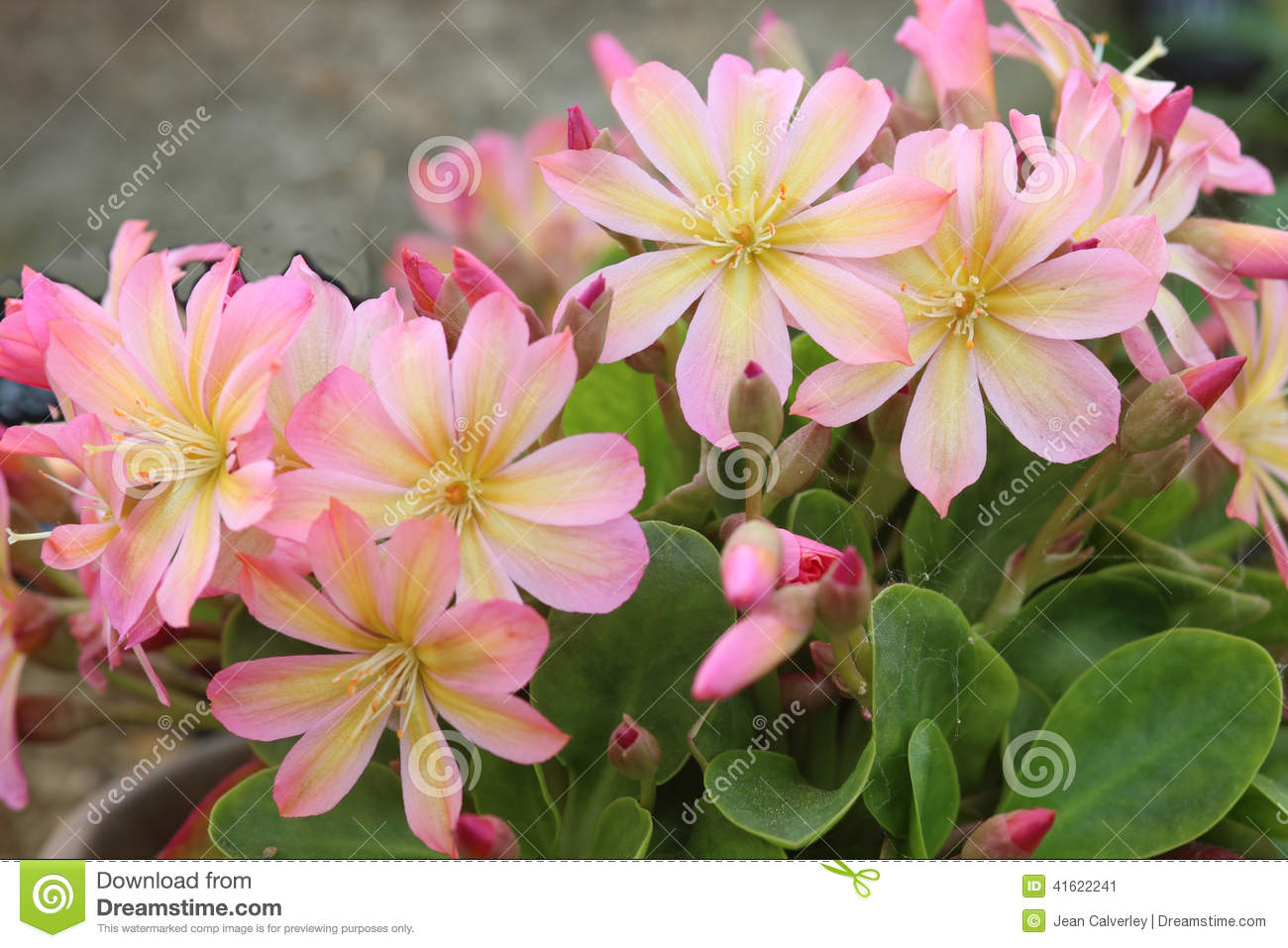 Pretty Pink Flowers Lewisia Twedei Rosa Stock Photo 41622241