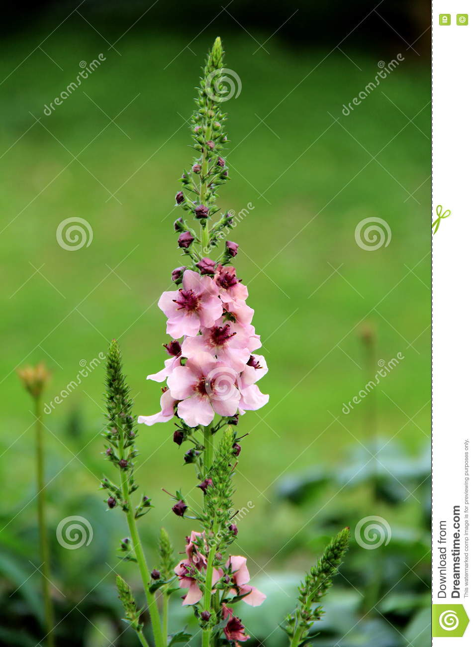 Pretty Pink Flowers On Tall Green Stalk In Meadow Stock Photo
