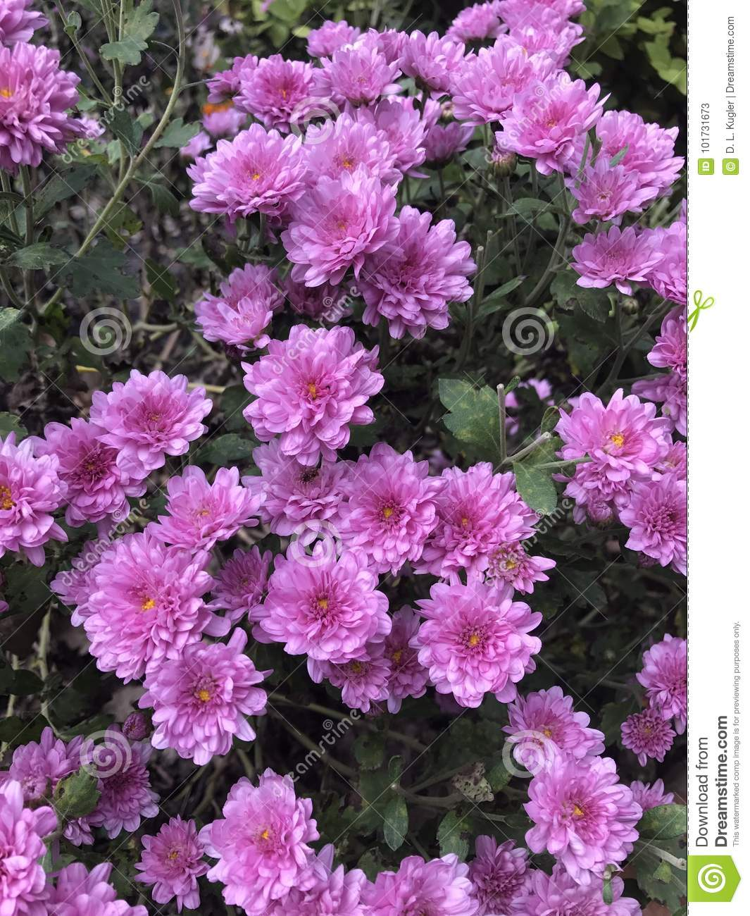 Pretty Pink Mums Stock Image Image Of Holidays Decorating 101731673