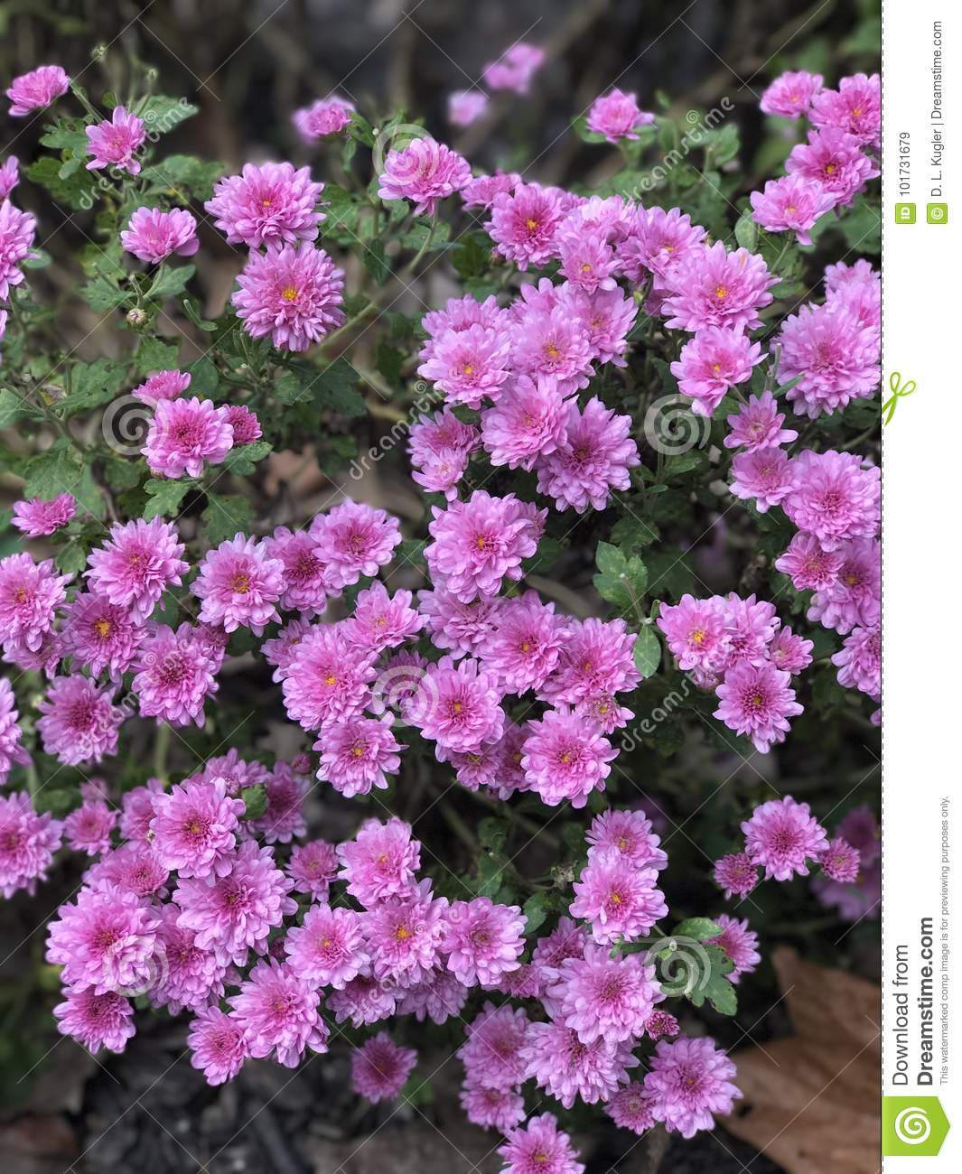 Pretty Pink Mums Stock Image Image Of Throughout Autumn 101731679