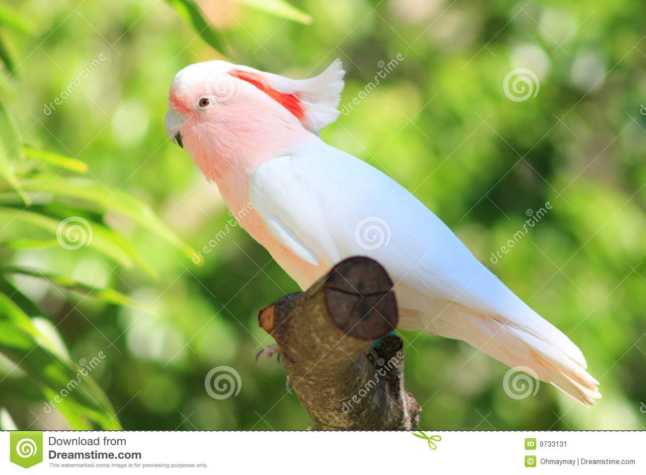 A Pretty Pink Parrot Stock Image Image 9733131
