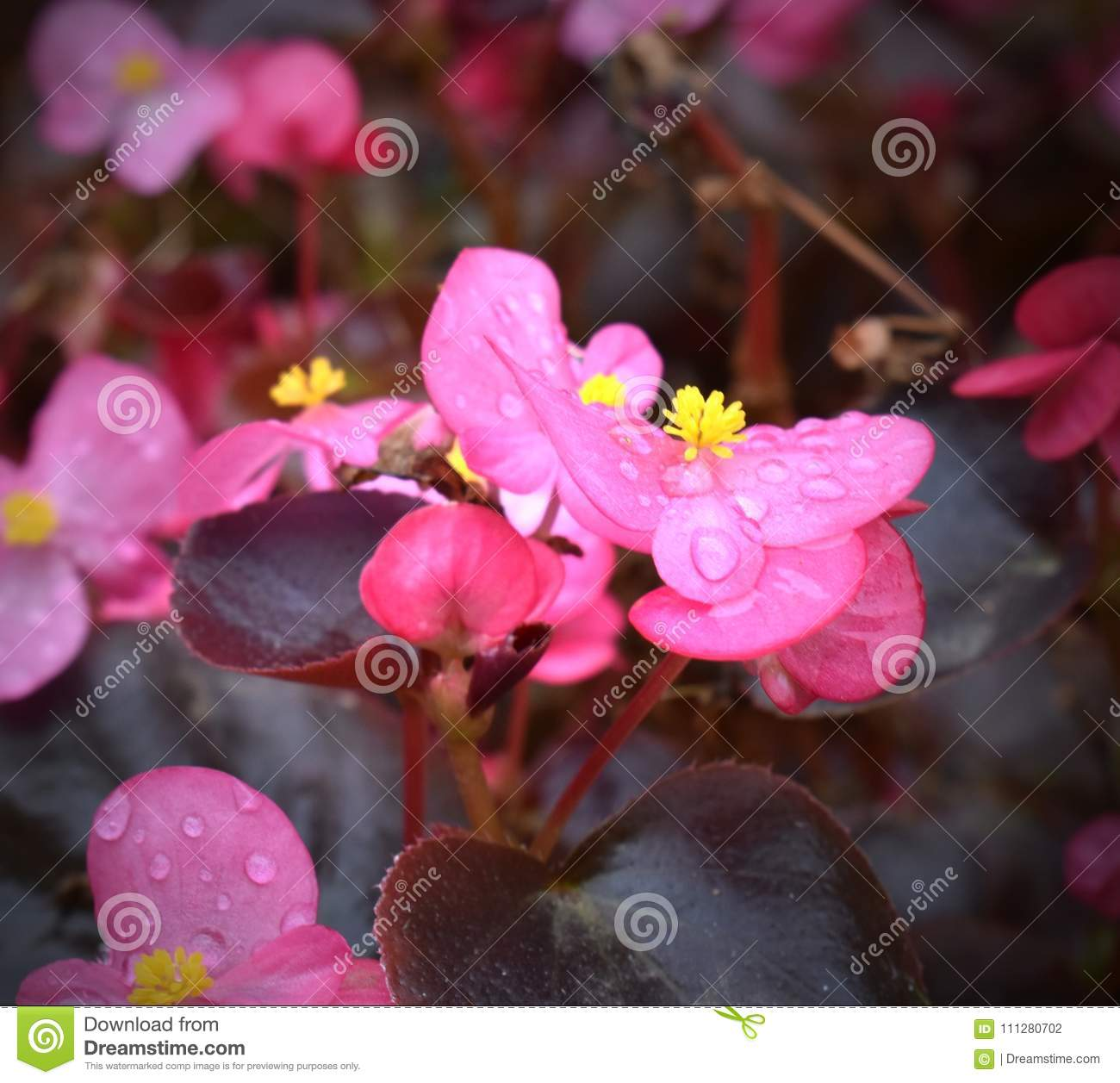 Pretty pink petite flowers with dew stock photo image of delicate download comp mightylinksfo