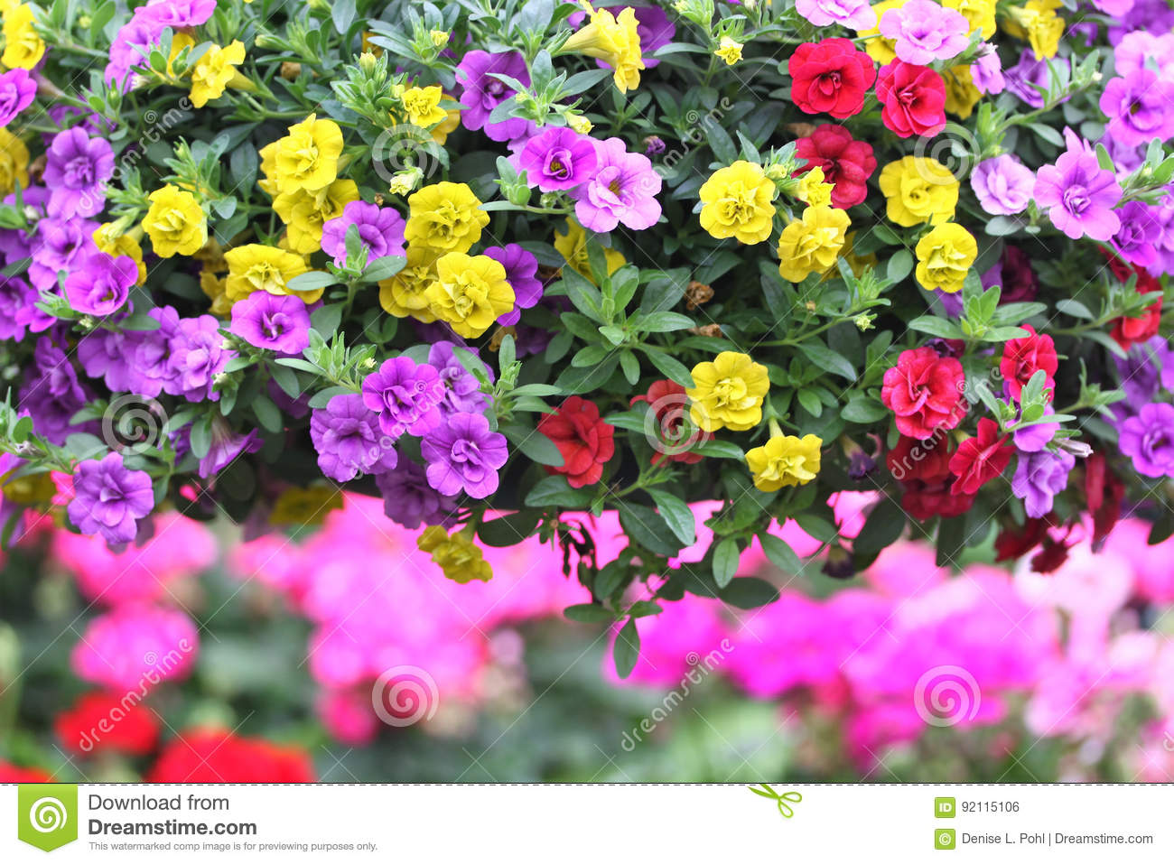 Pretty Pinkpurple And Yellow Flowers Stock Photo Image Of