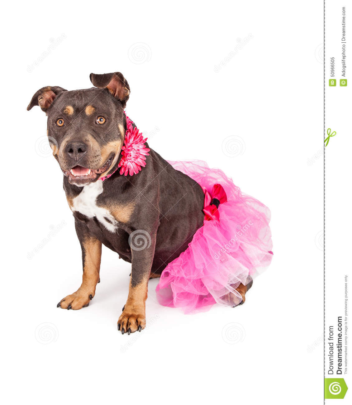 Pretty Pit Bull Wearing Pink Tutu Stock Image - Image of