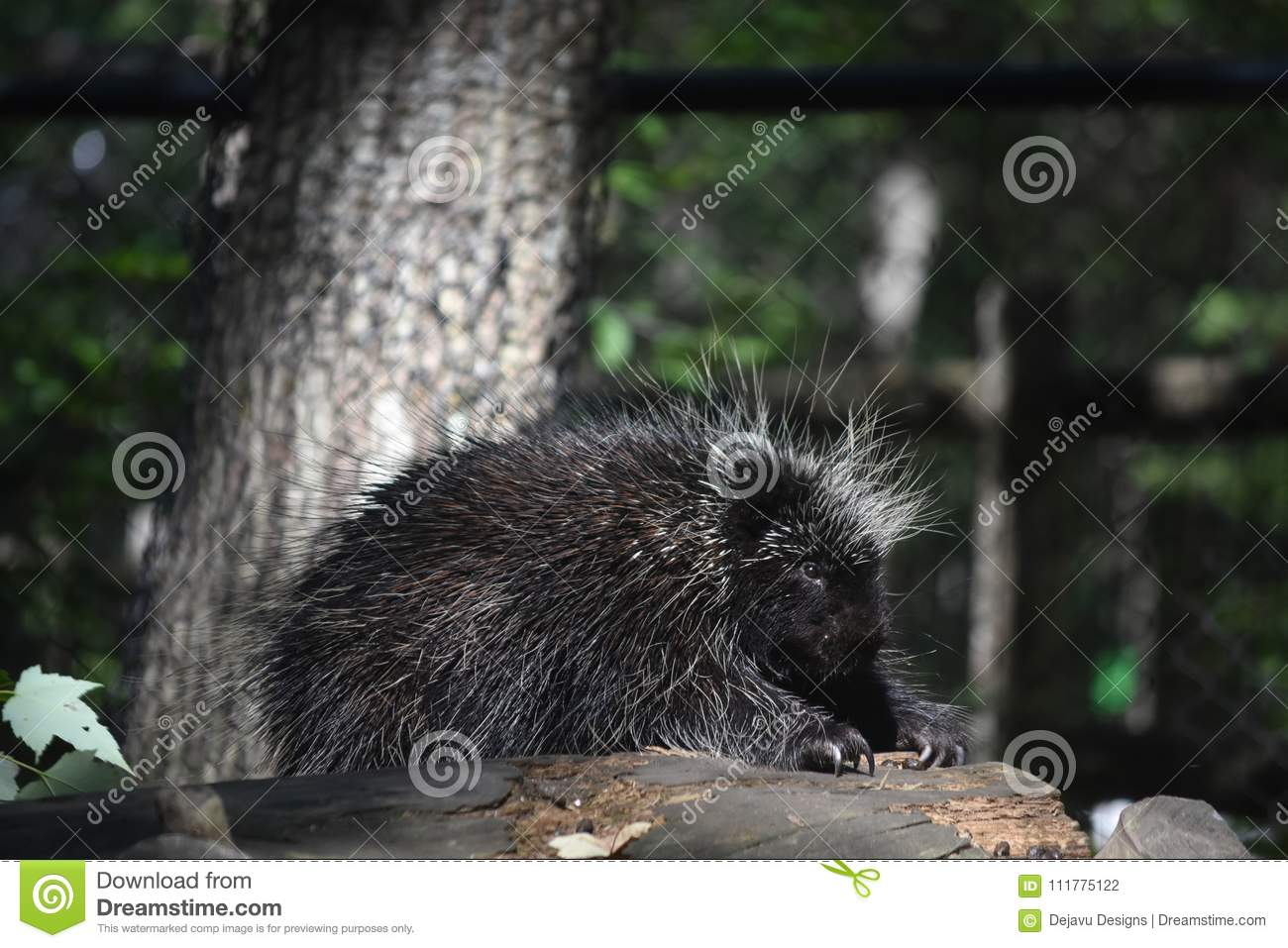 Pretty porcupine with sharp quills cover its body