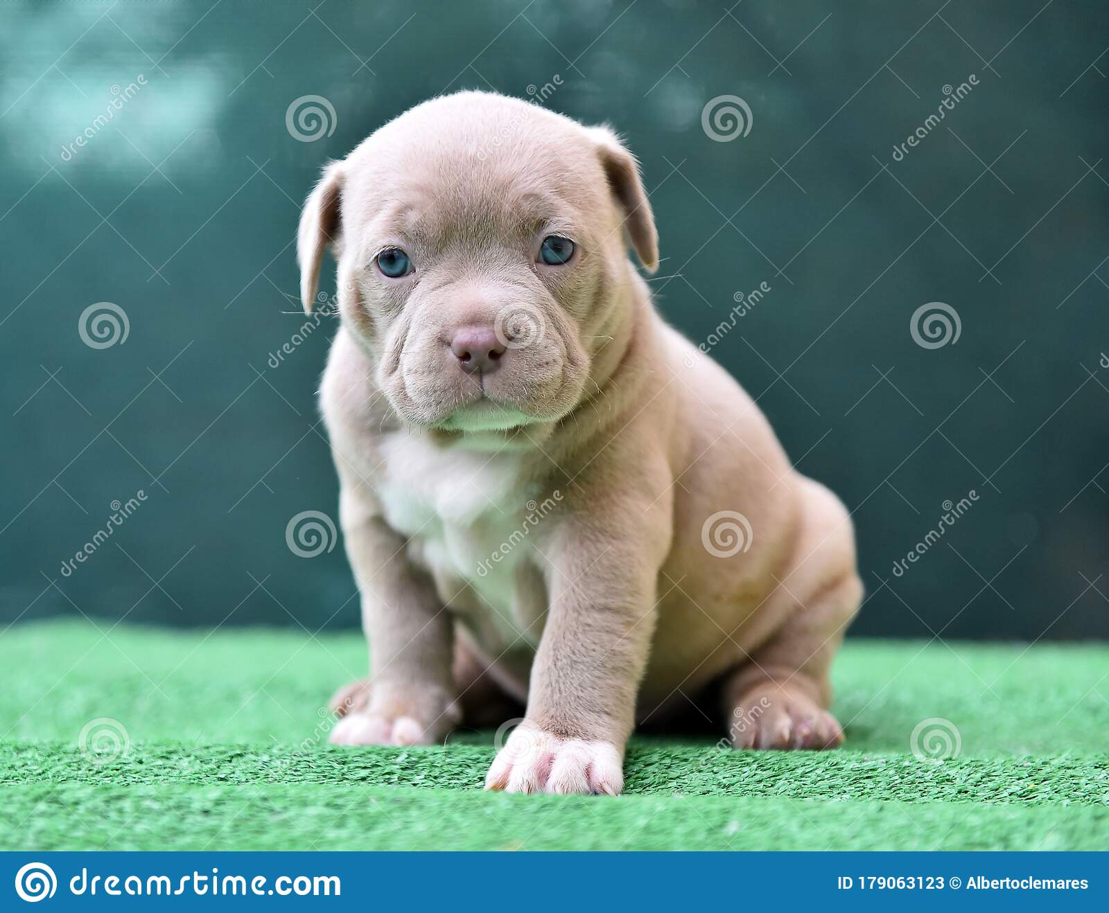 A Puppy American Bully Dog Stock Image Image Of Playing 179063123