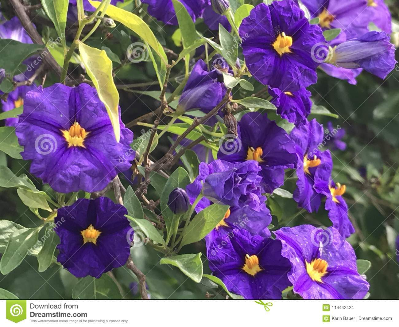 Pretty Purple Flowers Stock Photo Image Of Pretty Flowers 114442424