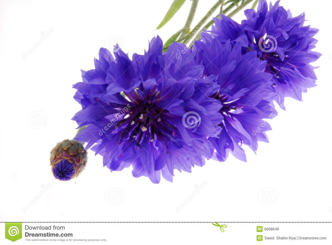Pretty Purple Flowers On White Stock Image Image Of Pretty Floral