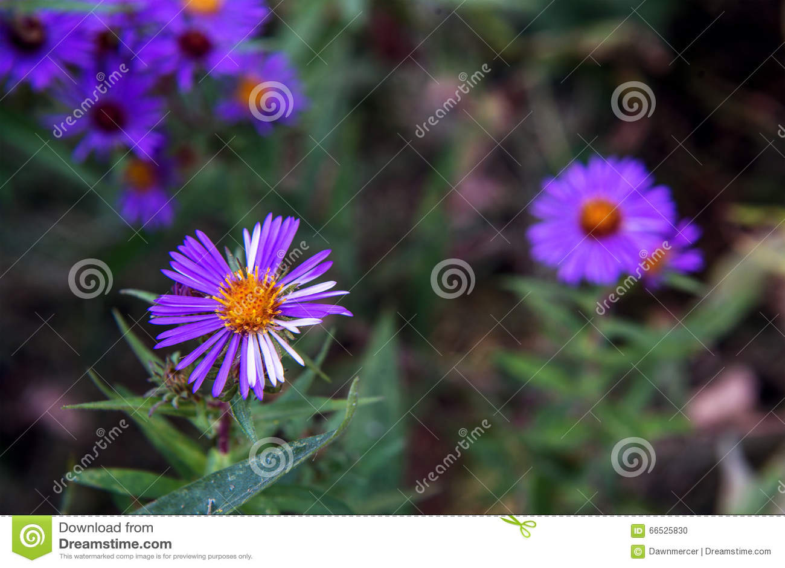 Pretty purple and white aster flowers stock photo image of download pretty purple and white aster flowers stock photo image of ornamental aster mightylinksfo