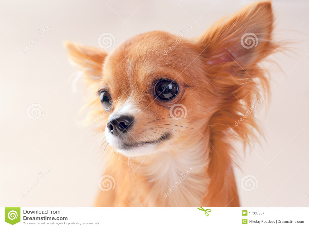 Pretty Red Chihuahua Puppy Portrait Stock Image Image