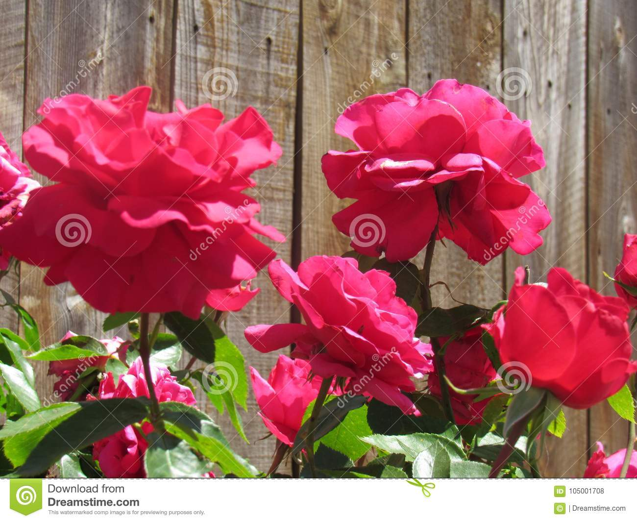 Pretty red flowers stock photo image of fence flowers 105001708 download pretty red flowers stock photo image of fence flowers 105001708 mightylinksfo