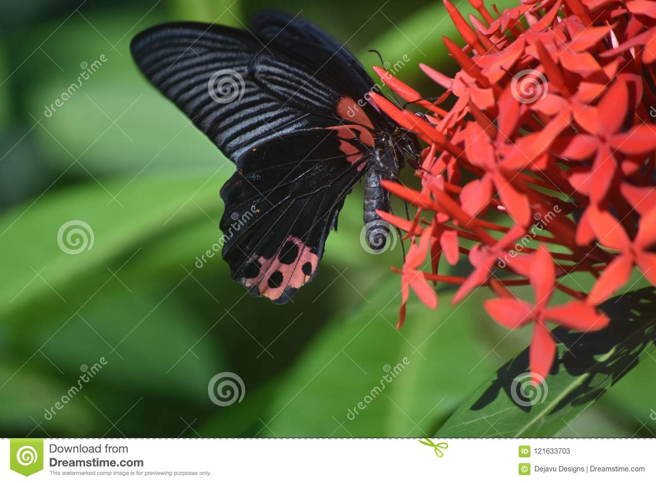Gorgeous Winged Scarlet Mormon Butterfly On Red Flowers Stock Image