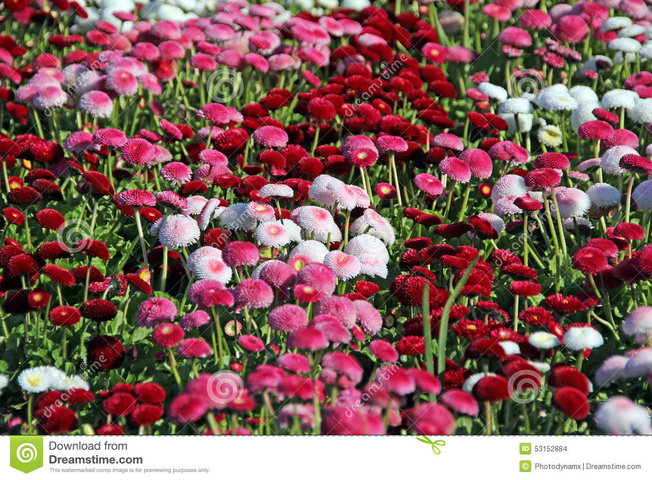 Pretty red and white summer flowers stock photo image of daisy pretty red and white summer flowers mightylinksfo