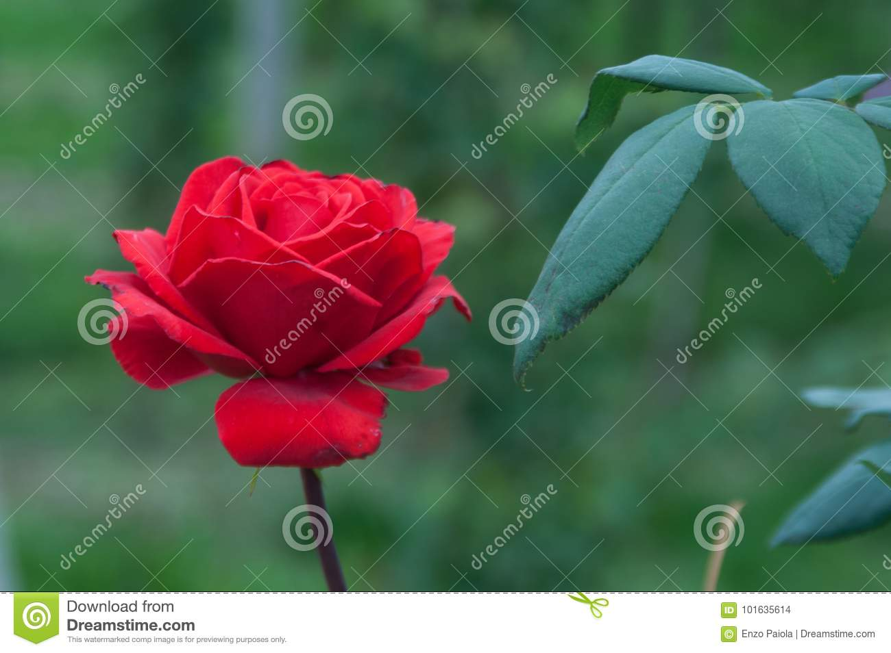 Pretty Rose Flower Stock Photo Image Of Close Dating 101635614