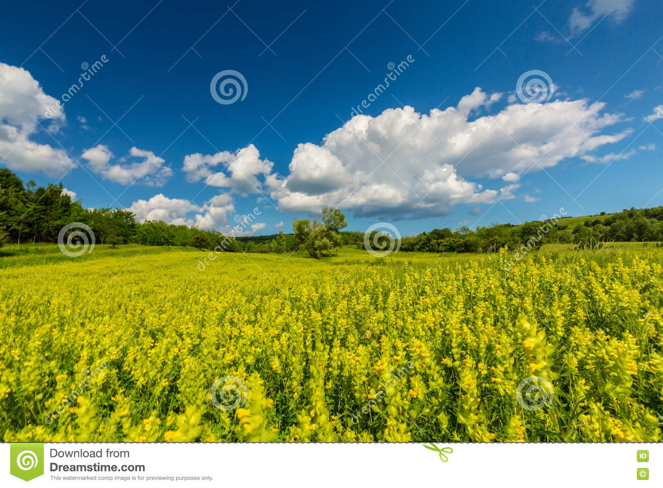 Pretty Scenery With Wild Meadow And Yellow Flowers In Spring Stock