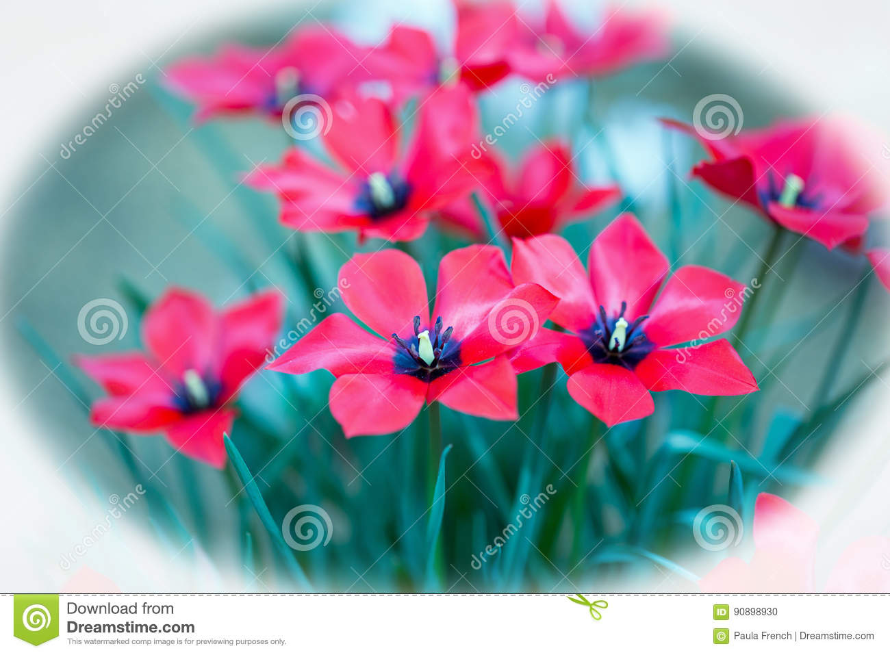 Pretty Small Red Glossy Flowers With A Black Stamen In Full Bloom