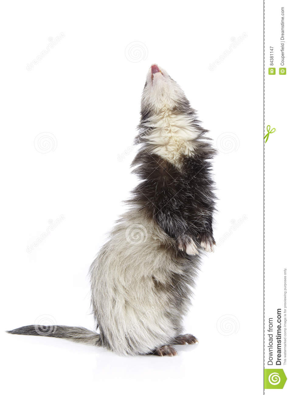 Pretty staying ferret on white background posing for portrait in studio
