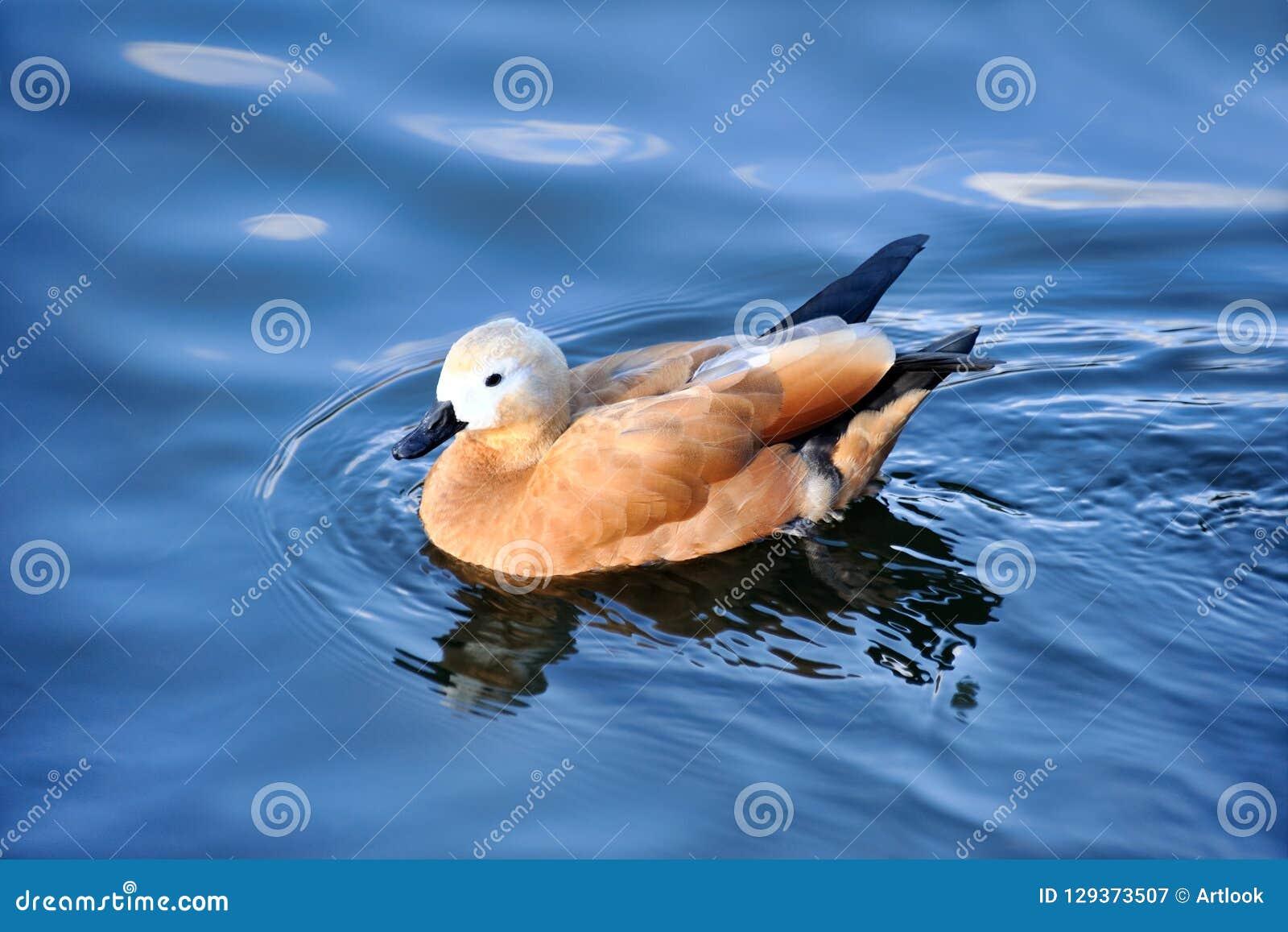 Pretty Swimming Ruddy Shelduck - Moscow Zoo