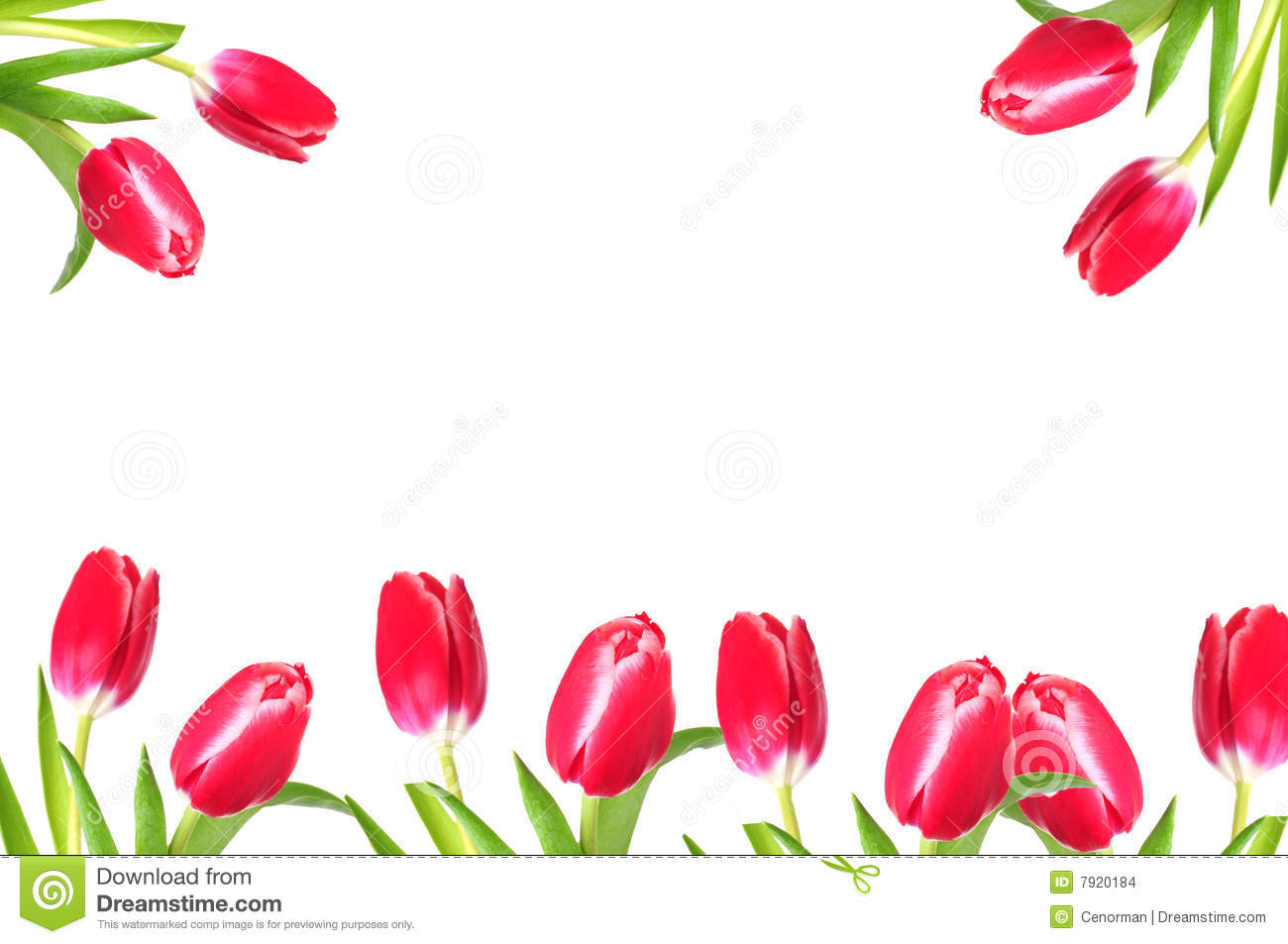 Pretty tulip border stock photo. Image of flower, white ...