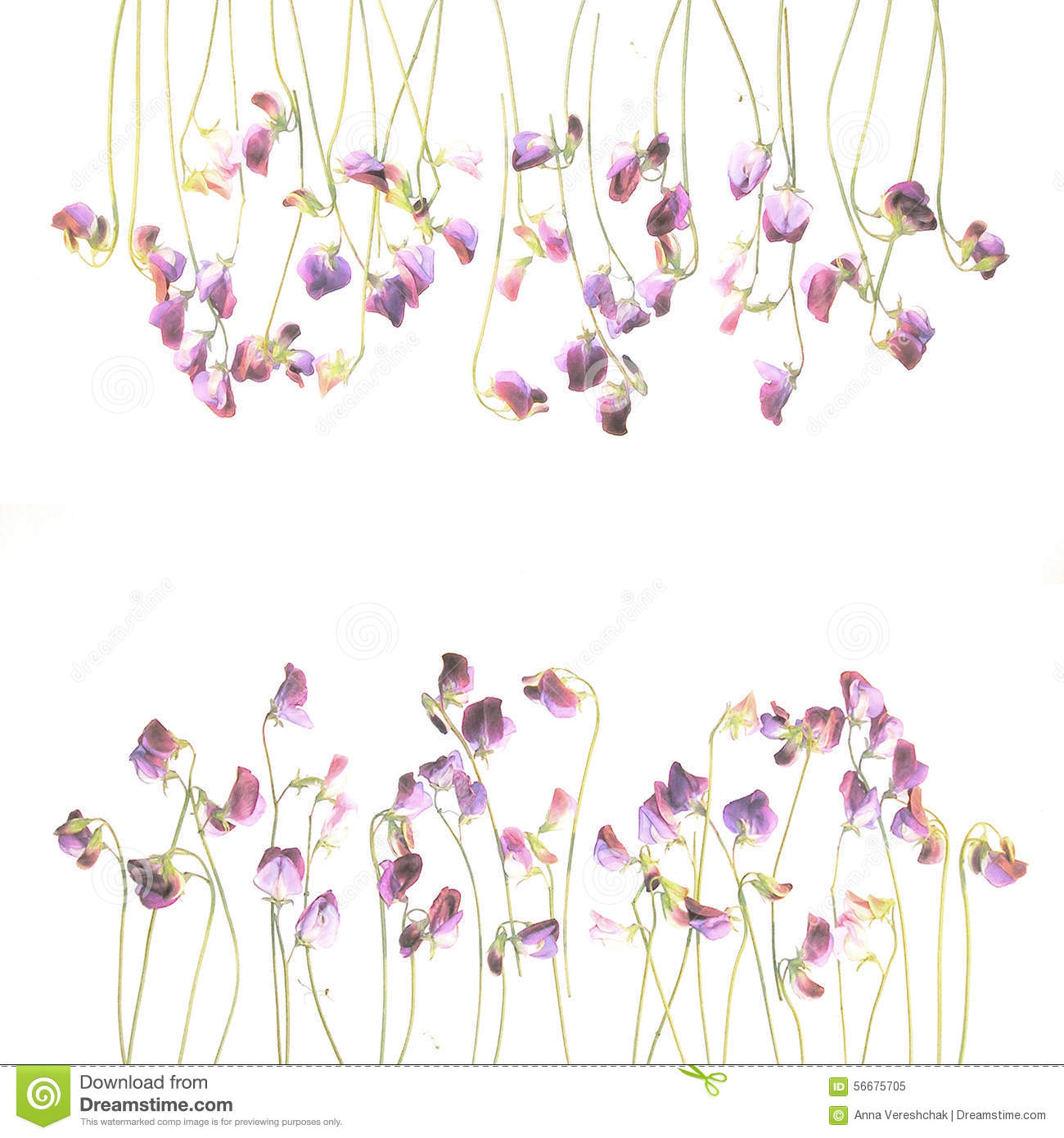 Pretty Violet Watercolor Sweet Pea Flowers Stock Illustration Image