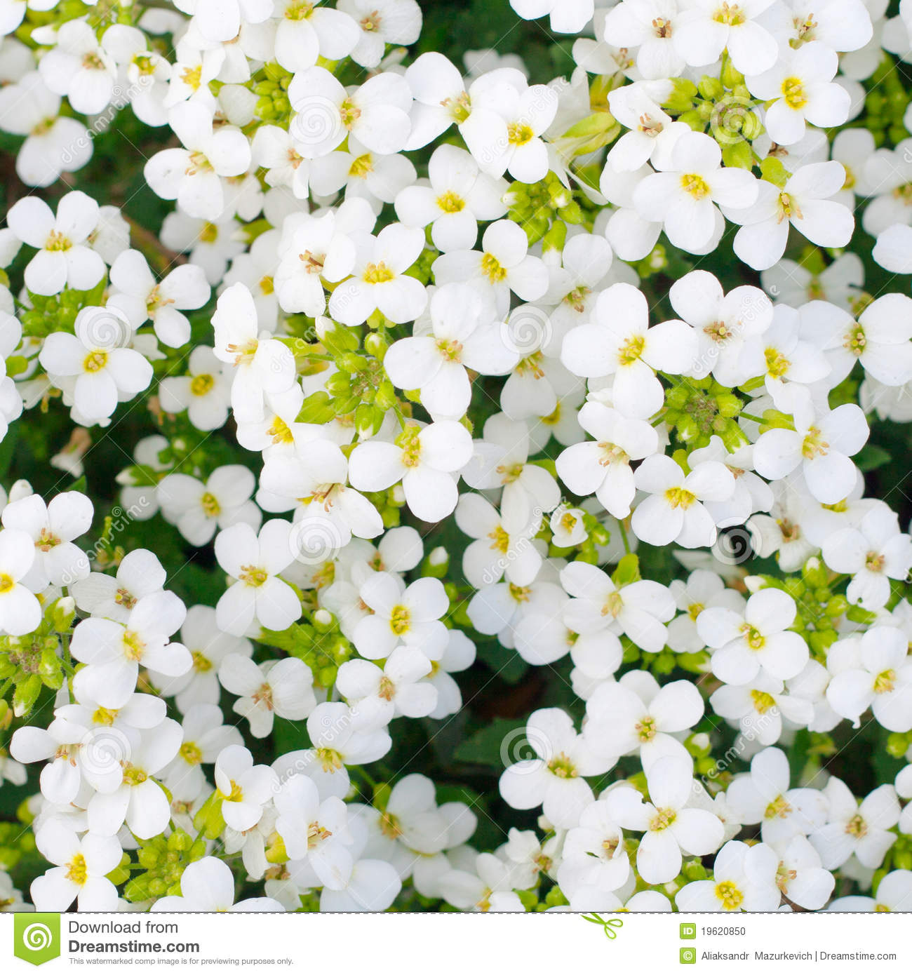 Pretty White Flowers Blooming Stock Photo Image Of Green Botany