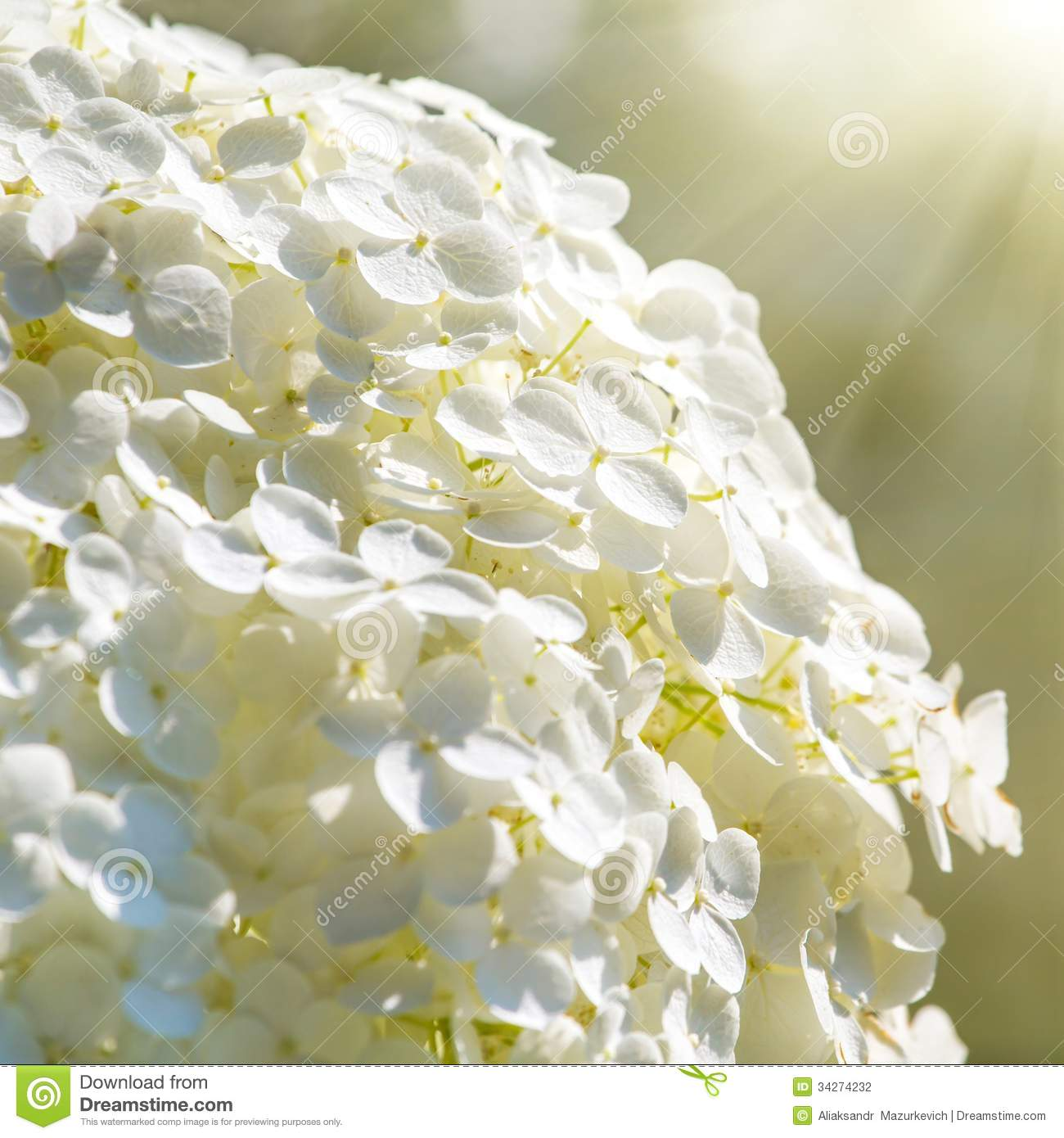Pretty White Flowers Stock Photo Image Of Bush Petal 34274232