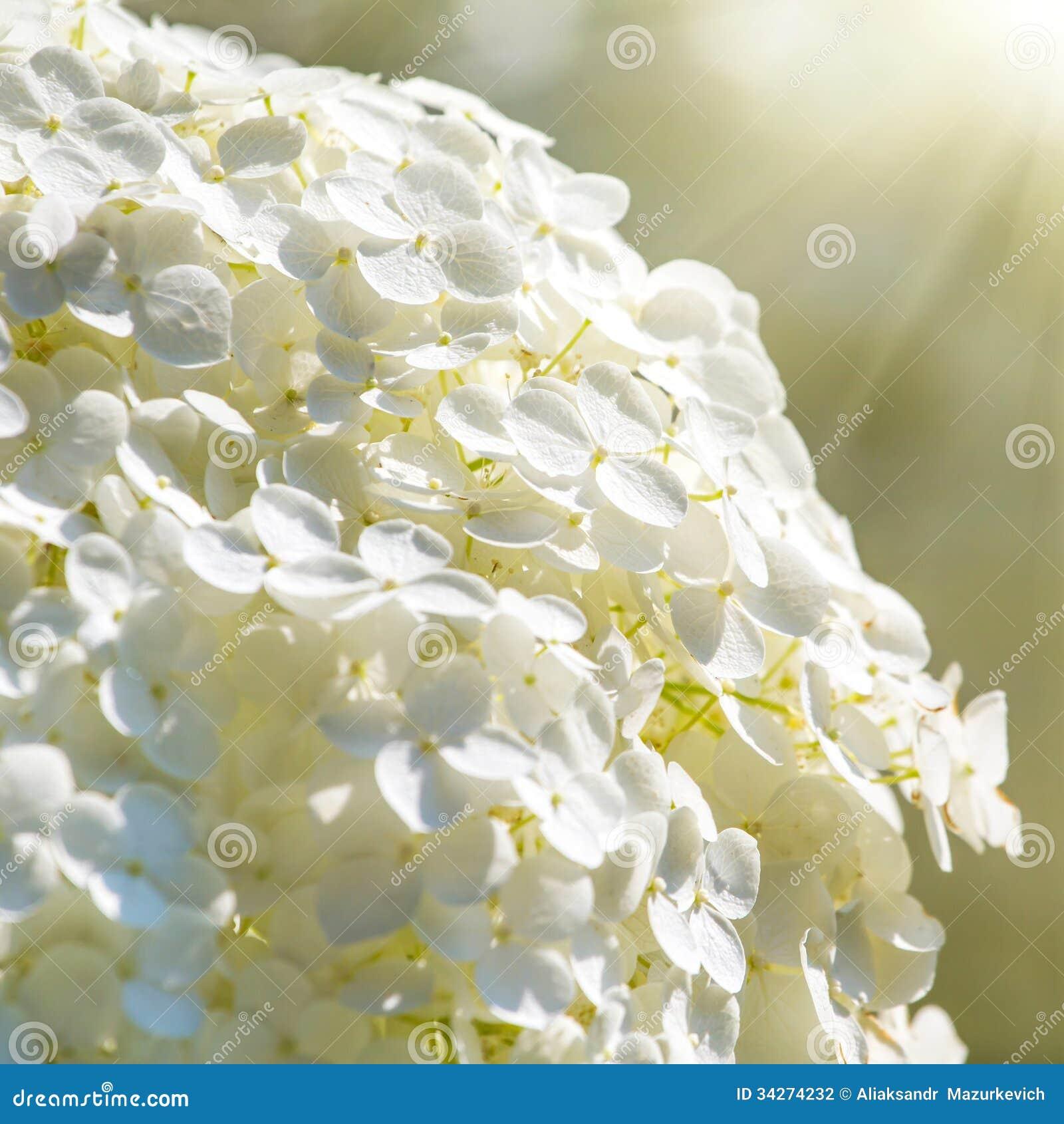 Pretty white flowers stock photo image of bush petal 34274232 pretty white flowers mightylinksfo