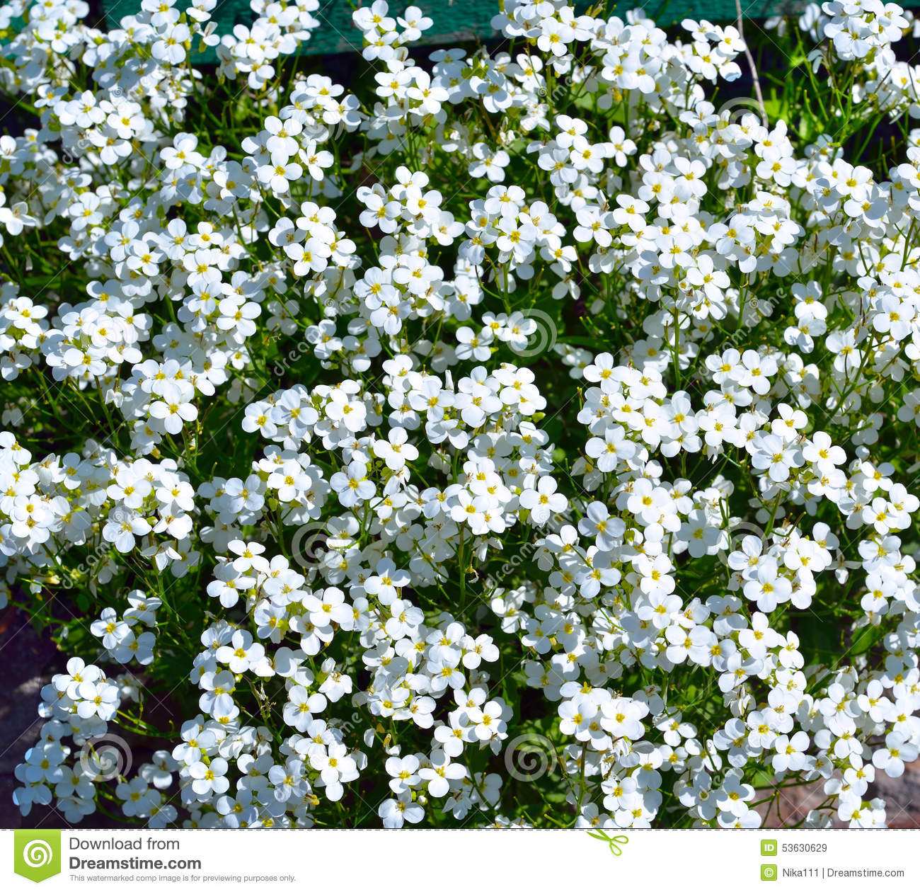Pretty White Flowers Blooming In A Garden Stock Image Image Of