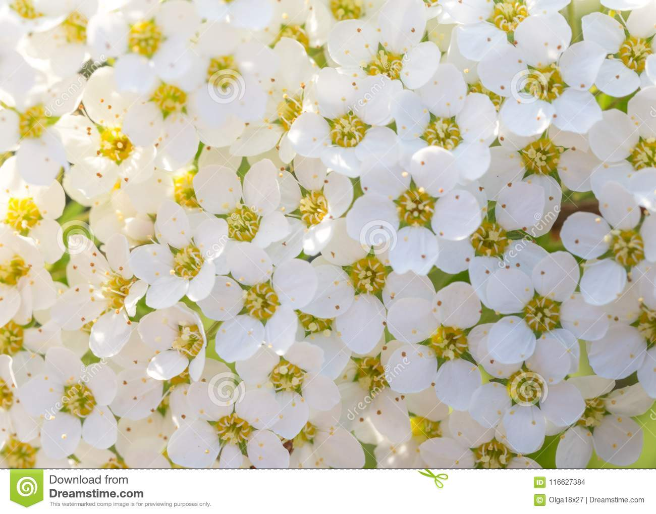 Pretty White Flowers Blooming In A Garden Stock Photo Image Of