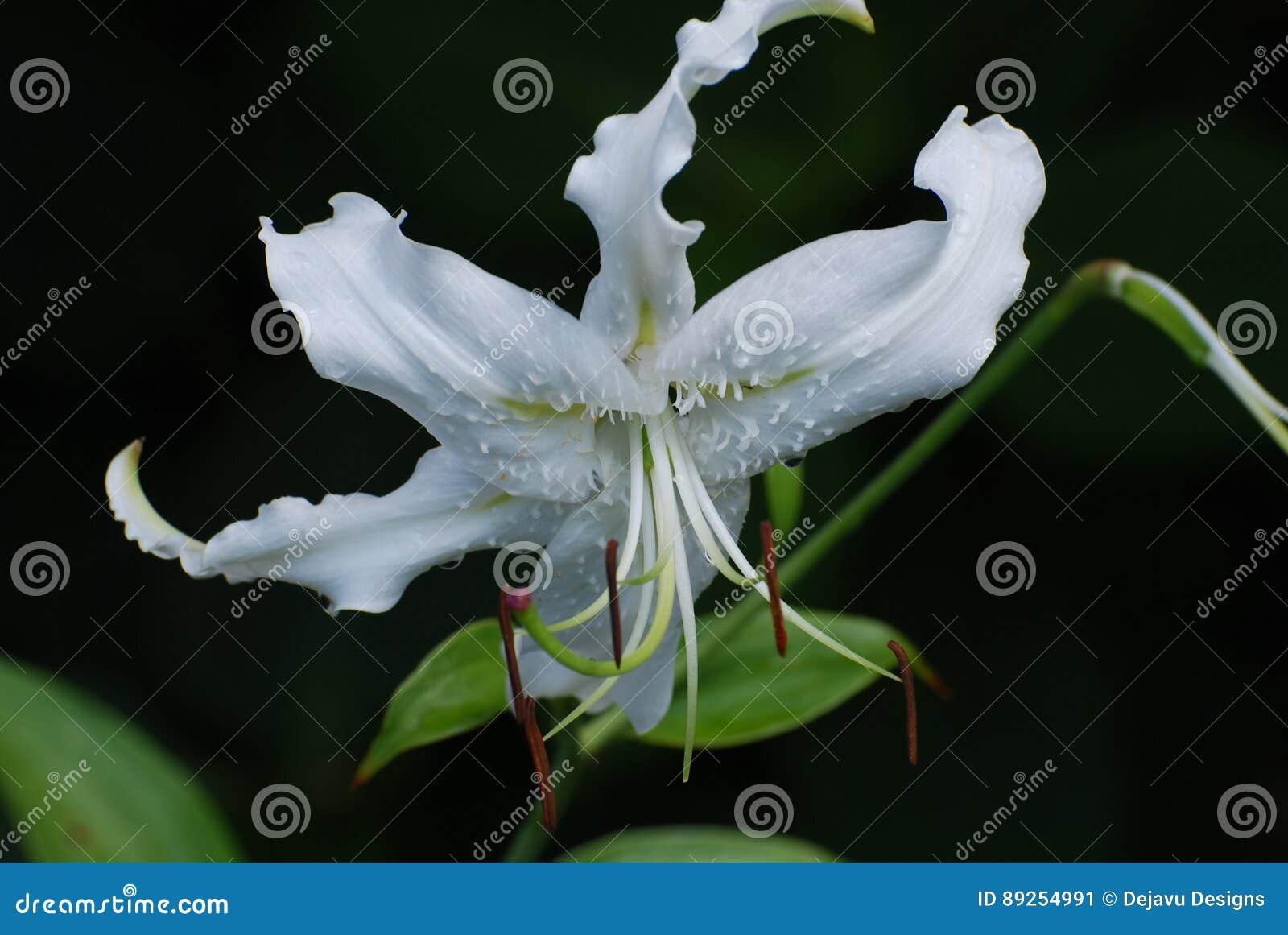 Pretty White Stargazer Lily Flower Blossom Stock Image Image Of
