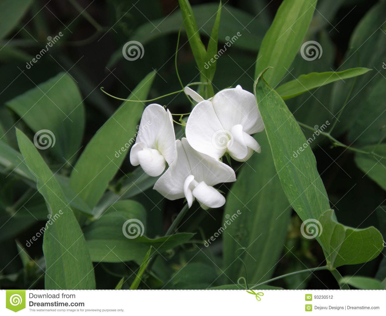 Pretty White Sweet Pea Flowers In A Garden Stock Photo Image Of