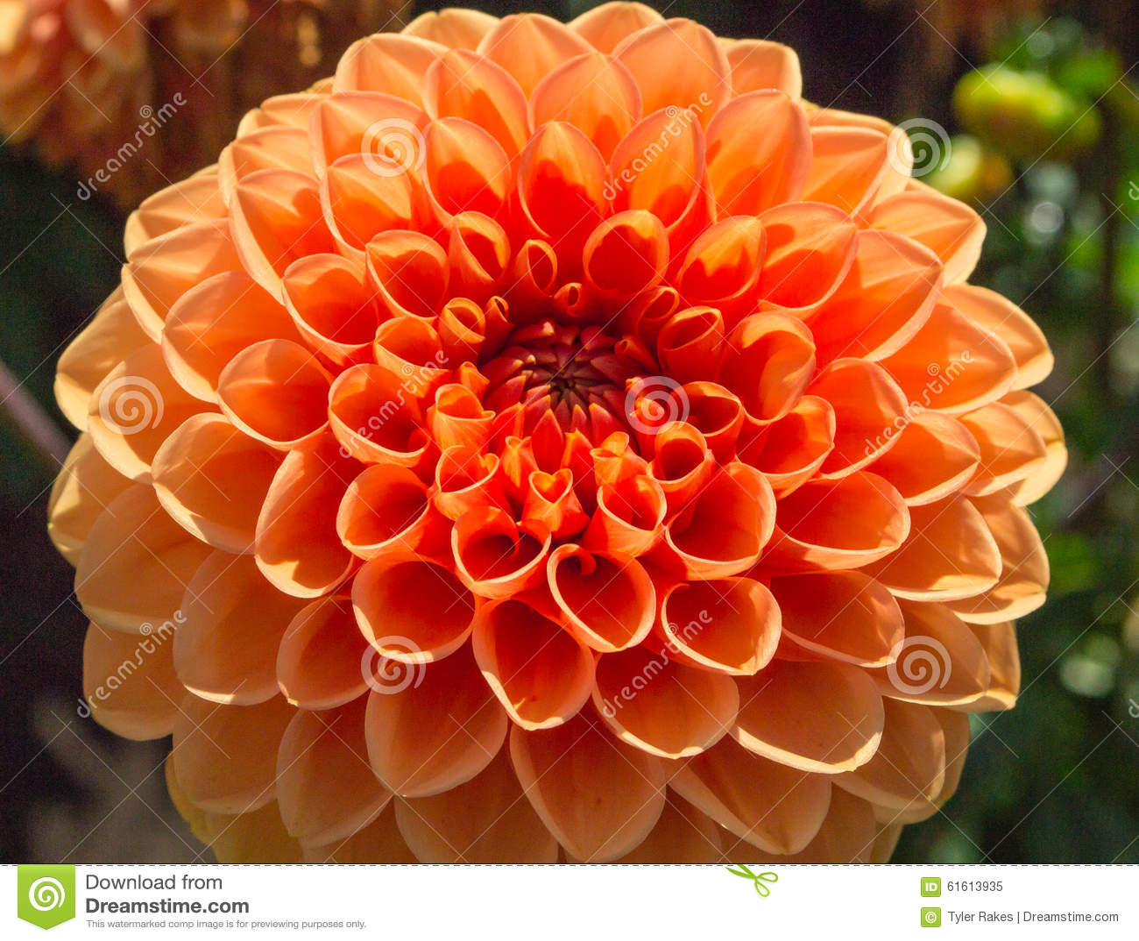Pretty yellow orange dahlia flower stock image image of dahlias download pretty yellow orange dahlia flower stock image image of dahlias large 61613935 izmirmasajfo