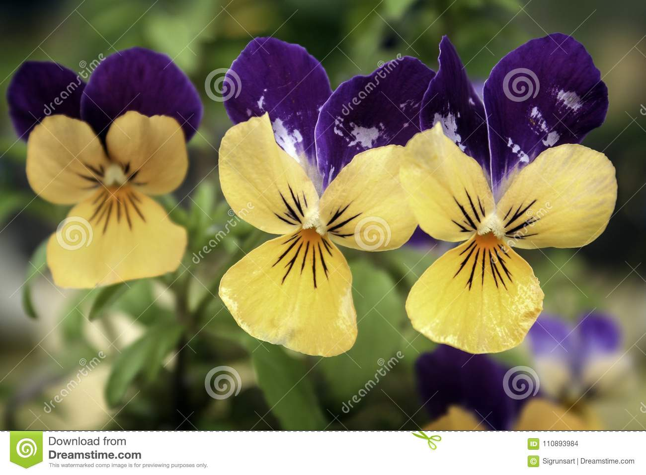 Pretty yellow and purple violas