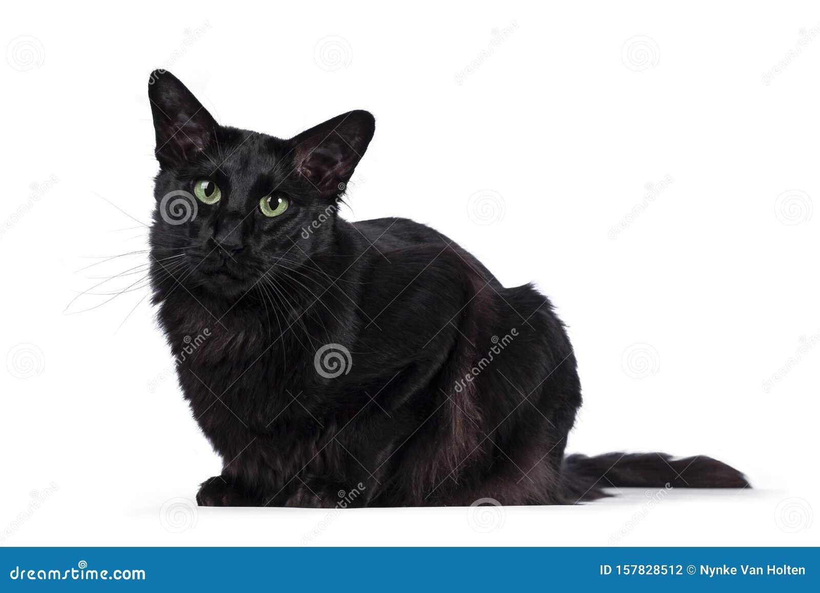 Black Balinese Cat On White Stock Photo Image Of Isolated