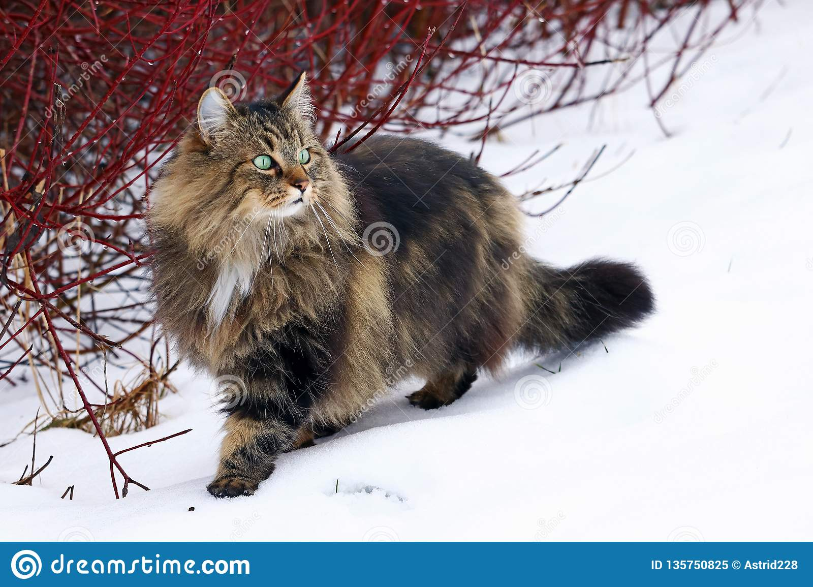 A pretty young Norwegian Forest Cat hunting in the snow