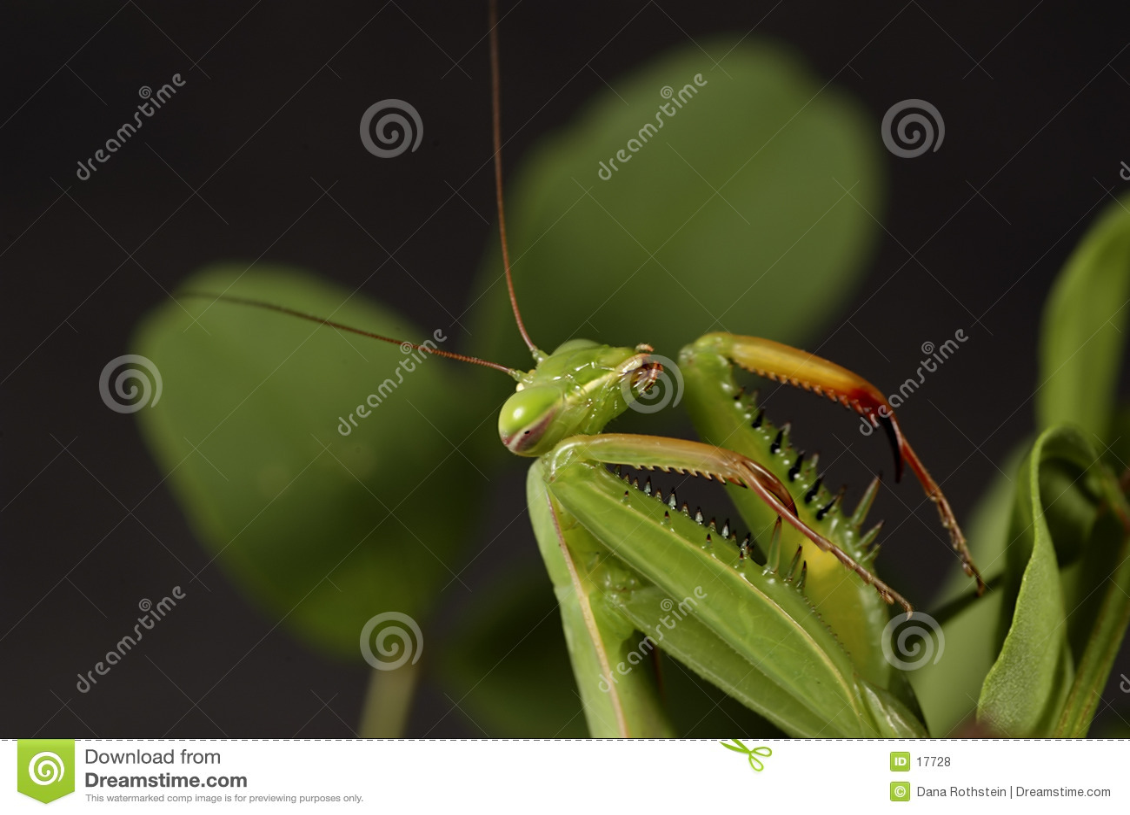 Preying Mantis 3