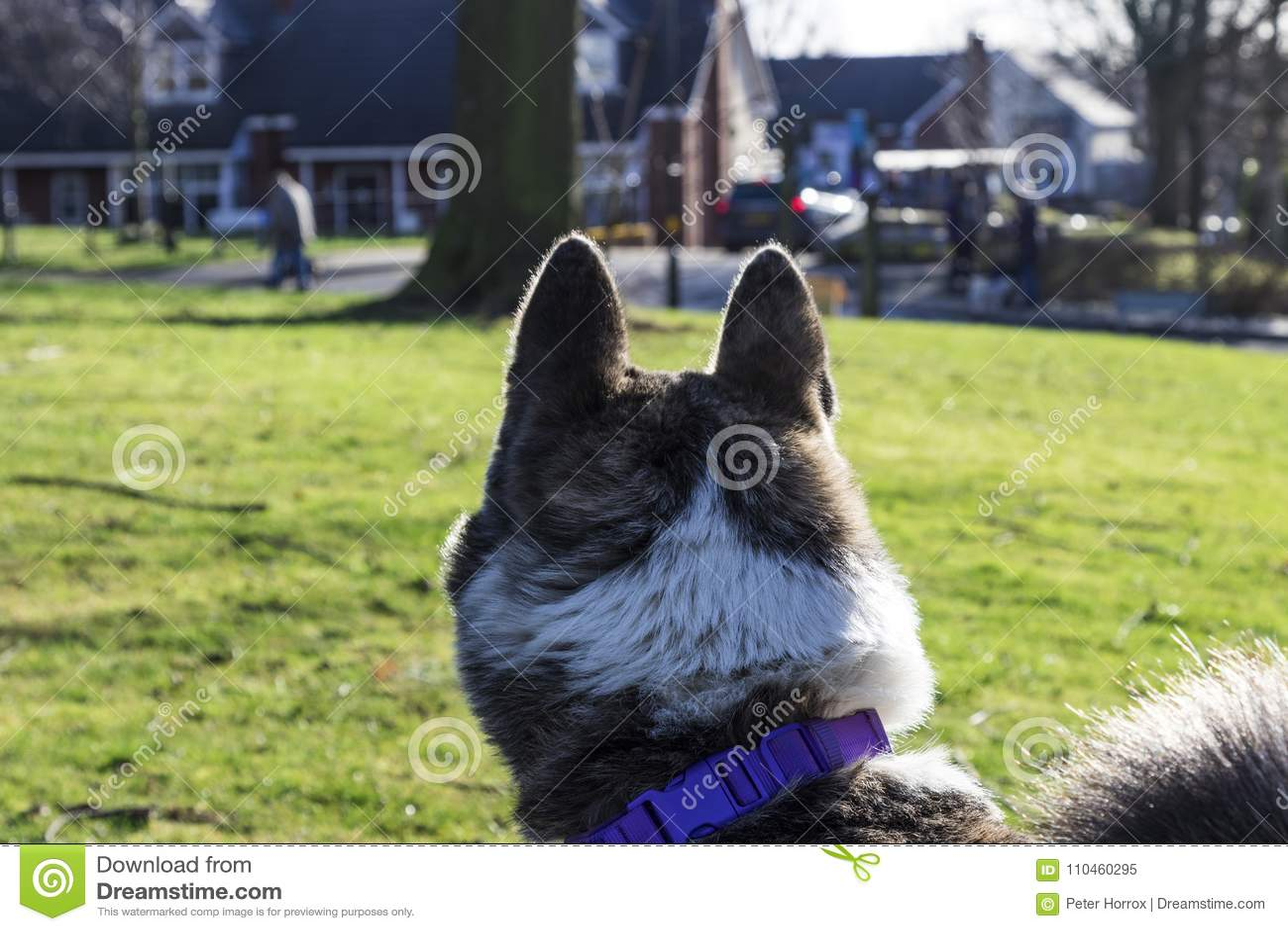 Prickig Akita hund en annan hund