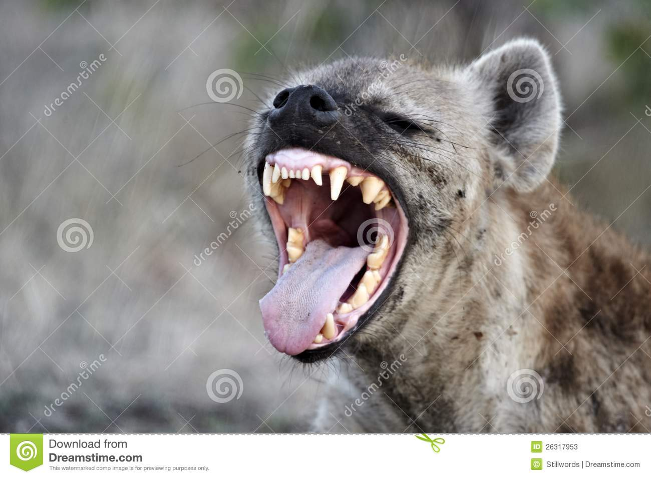 Prickig hyena (crocutacrocutaen)
